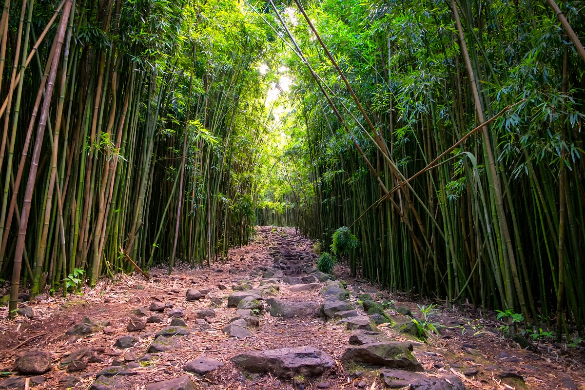 Bamboo forest at Hana