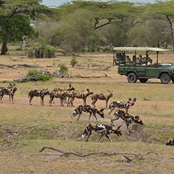 Wild dog sighting Siwandu