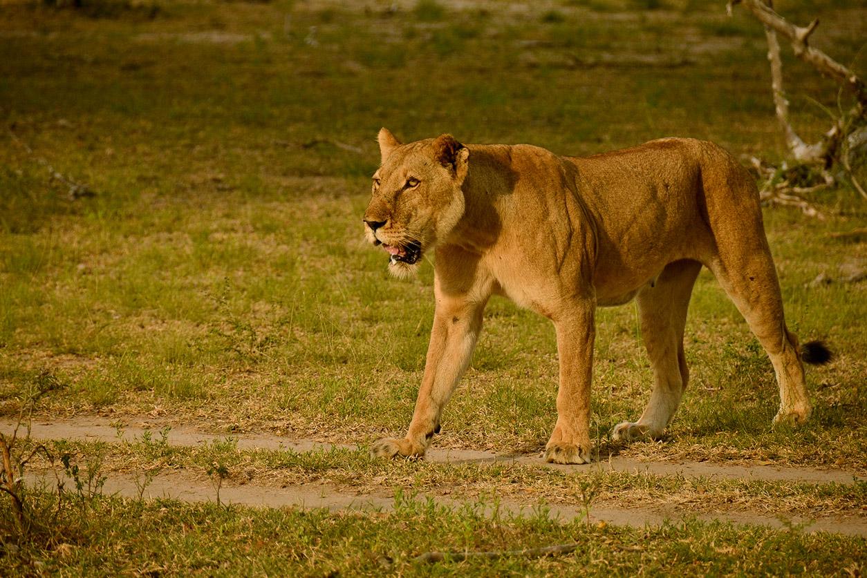 Lion siwandu