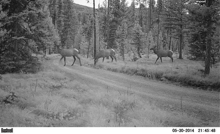 Elk captured on a wildlife camera by the landowners.