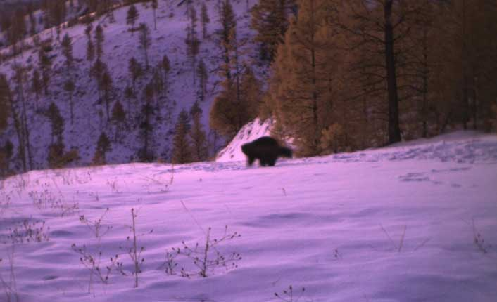 A rare wolverine caught on a wildlife camera in the northern Sapphire Mountains. Photo courtesy of MPG Ranch.