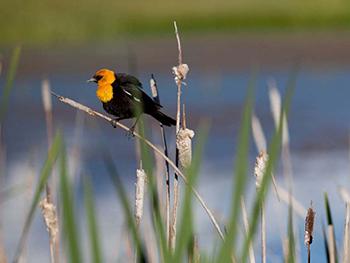 Yellow headed black bird.