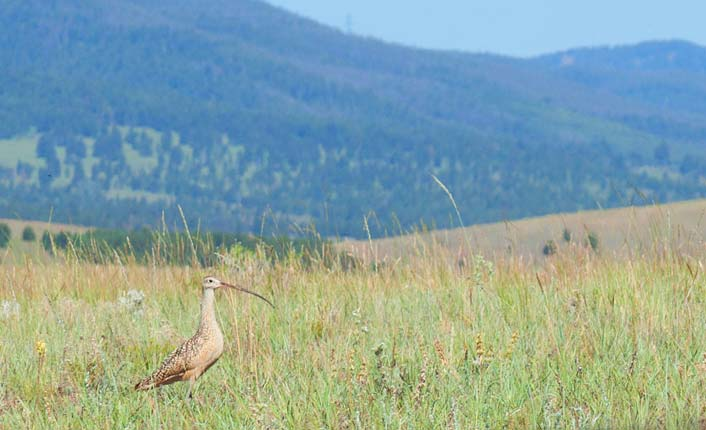 A long-billed curlew on the Open Cross Ranch. Photo by Little Bear Photography.