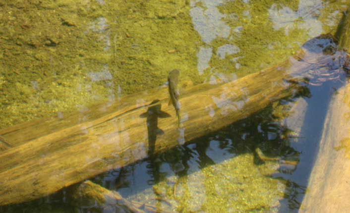 Trout in the Blackfoot River. Photo by Five Valleys staff.