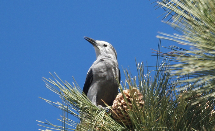 The project protects habitat for many Montana Species of Concern, including Clark's Nutcracker. Photo by Mike's Birds.