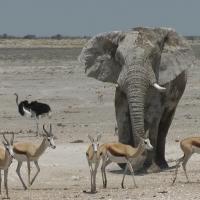 Elefant im Etosha National Park