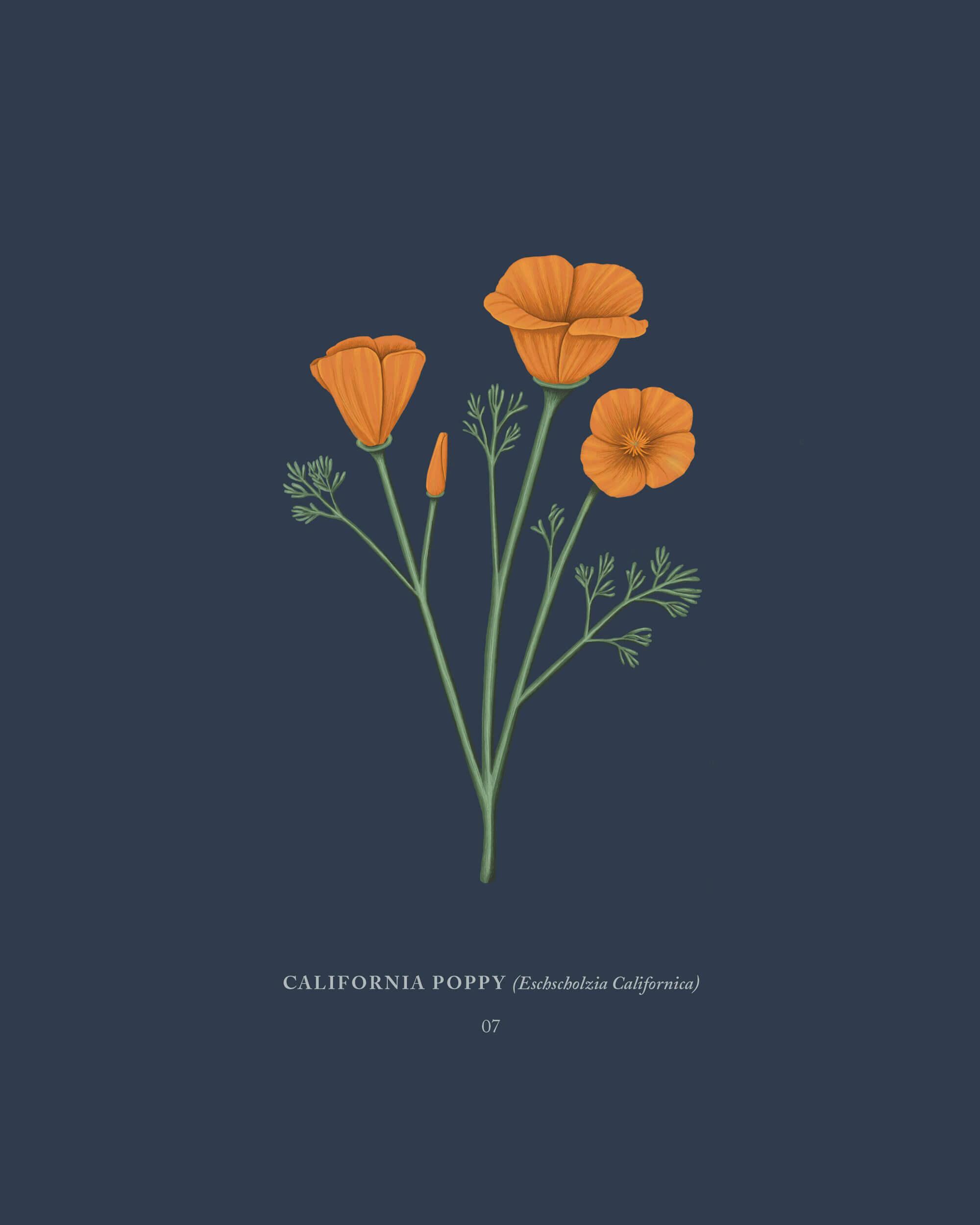 Mariel Feldman illustration California poppy