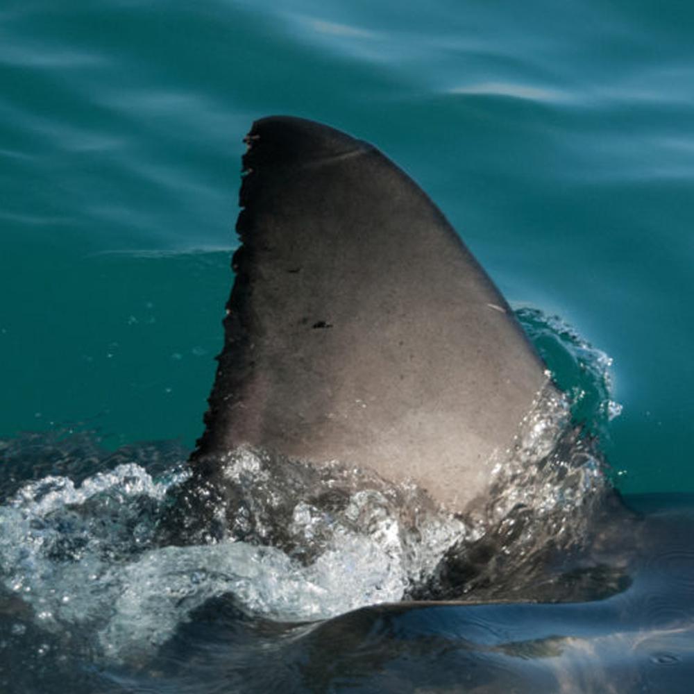 La aleta de tiburón