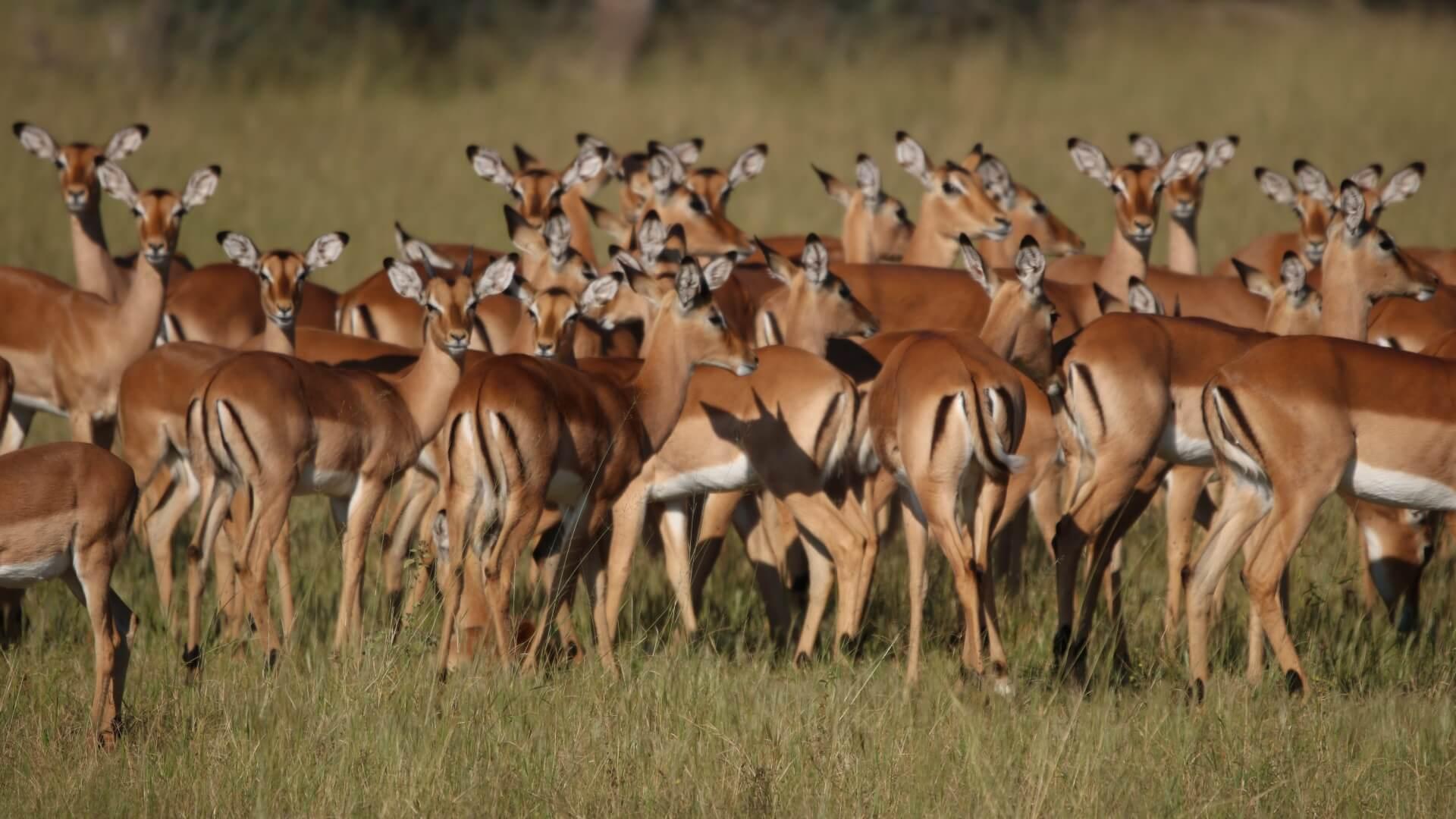 Impala herd, Hwange National Park, Zimbabwe