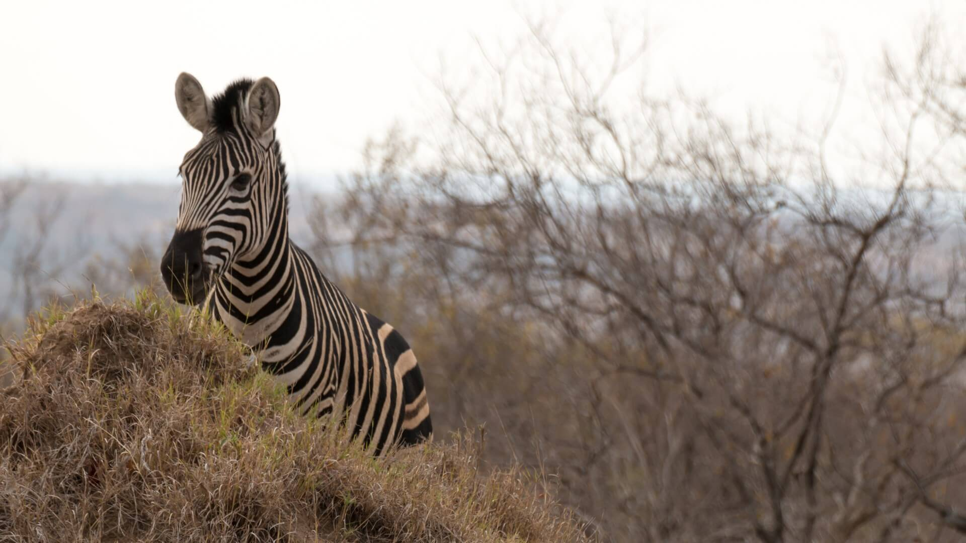 Zebra in autumnal area, Kruger National Park, South Africa