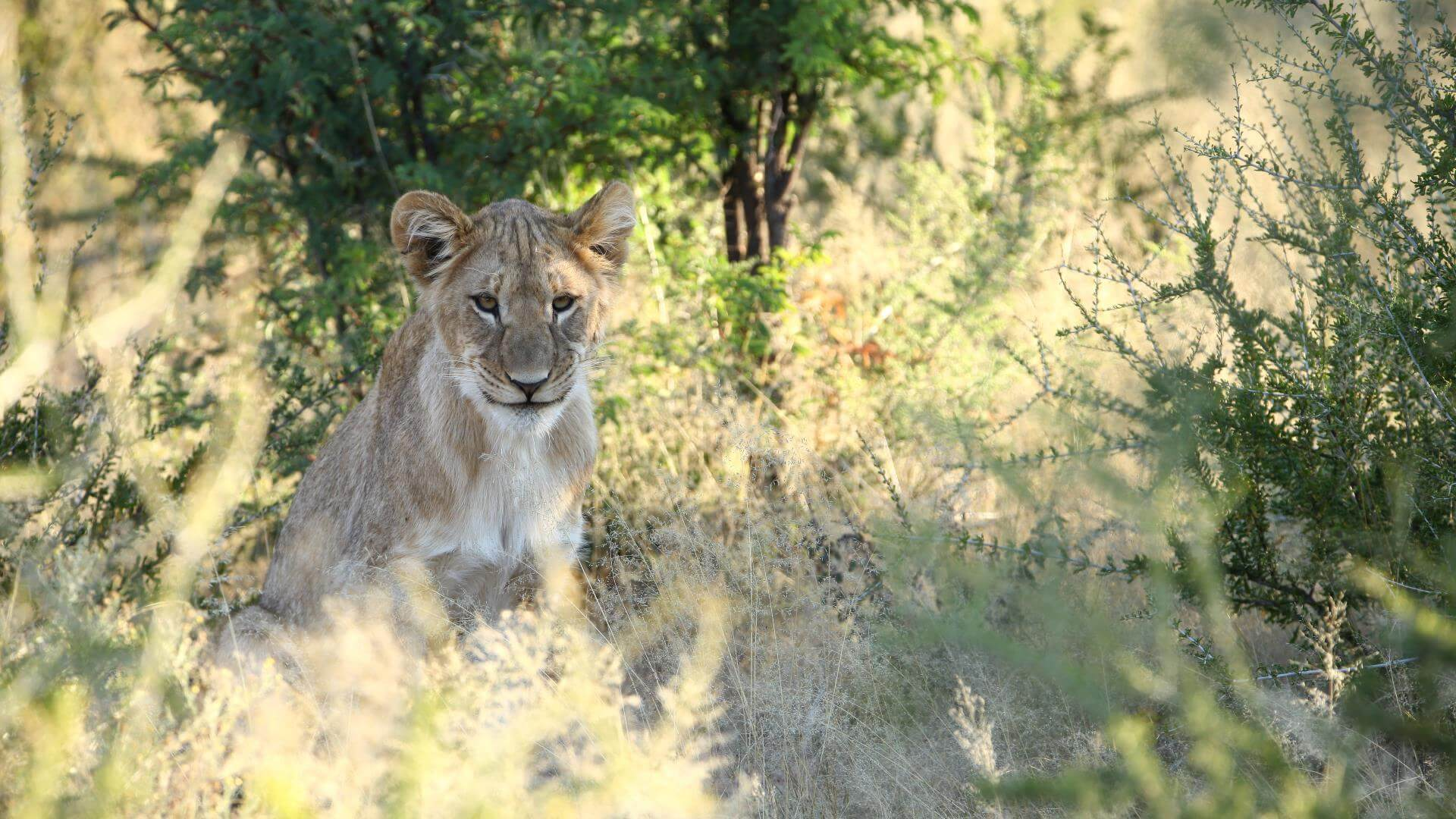 Jung lion hiding, Kruger National Park, South Africa