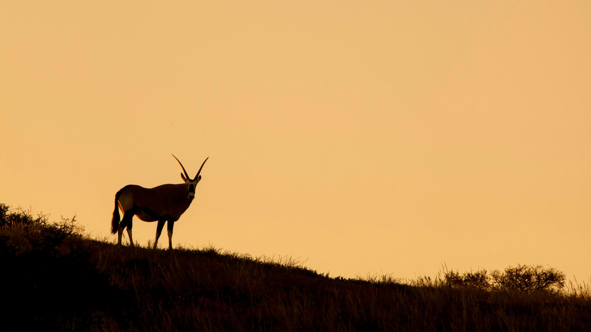Oryx antelope durign sunset, Kalahari, South Africa