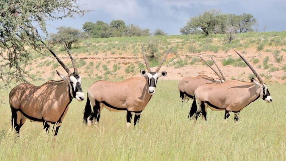 KGALAGADI TRANSFRONTIER PARK - an der Grenze zwischen Südafrika und Botswana gelegen, ist bekannt als eines der Juwelen der Wüste mit einer ausgedehnten Wildnis, die mit Grasland und roten Dünen übersät ist.