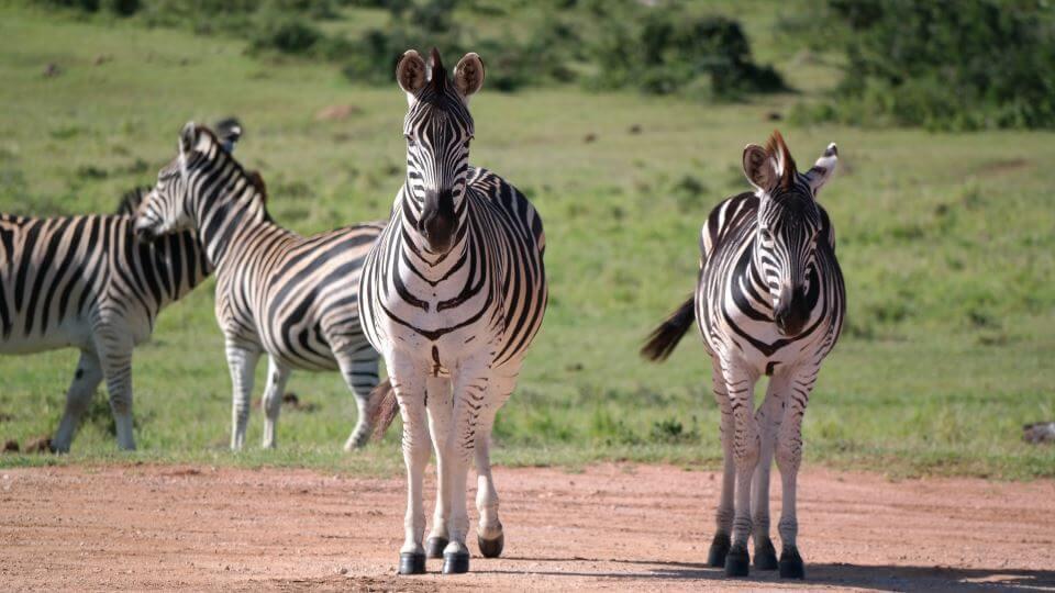 TIMBAVATI - Über die gemeinsame, zaunlose Grenze zum Kruger Park migrieren große Populationen von Löwen, Elefanten, Nashörnern und vielen anderen Arten