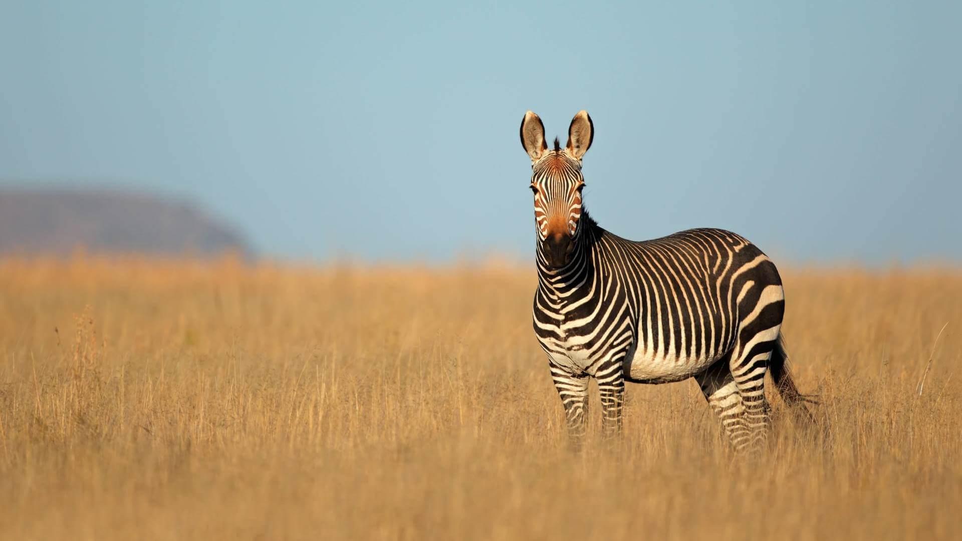 Zebra_im_hohen_gras_namibias