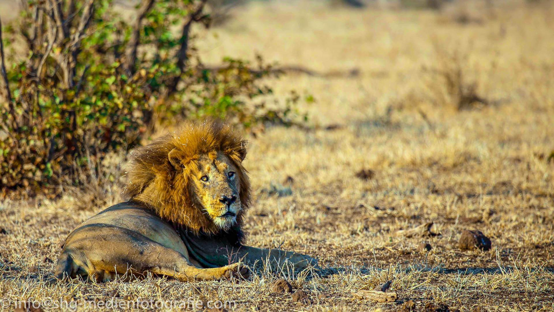 Lion up-close, Kruger National Park, South Africa