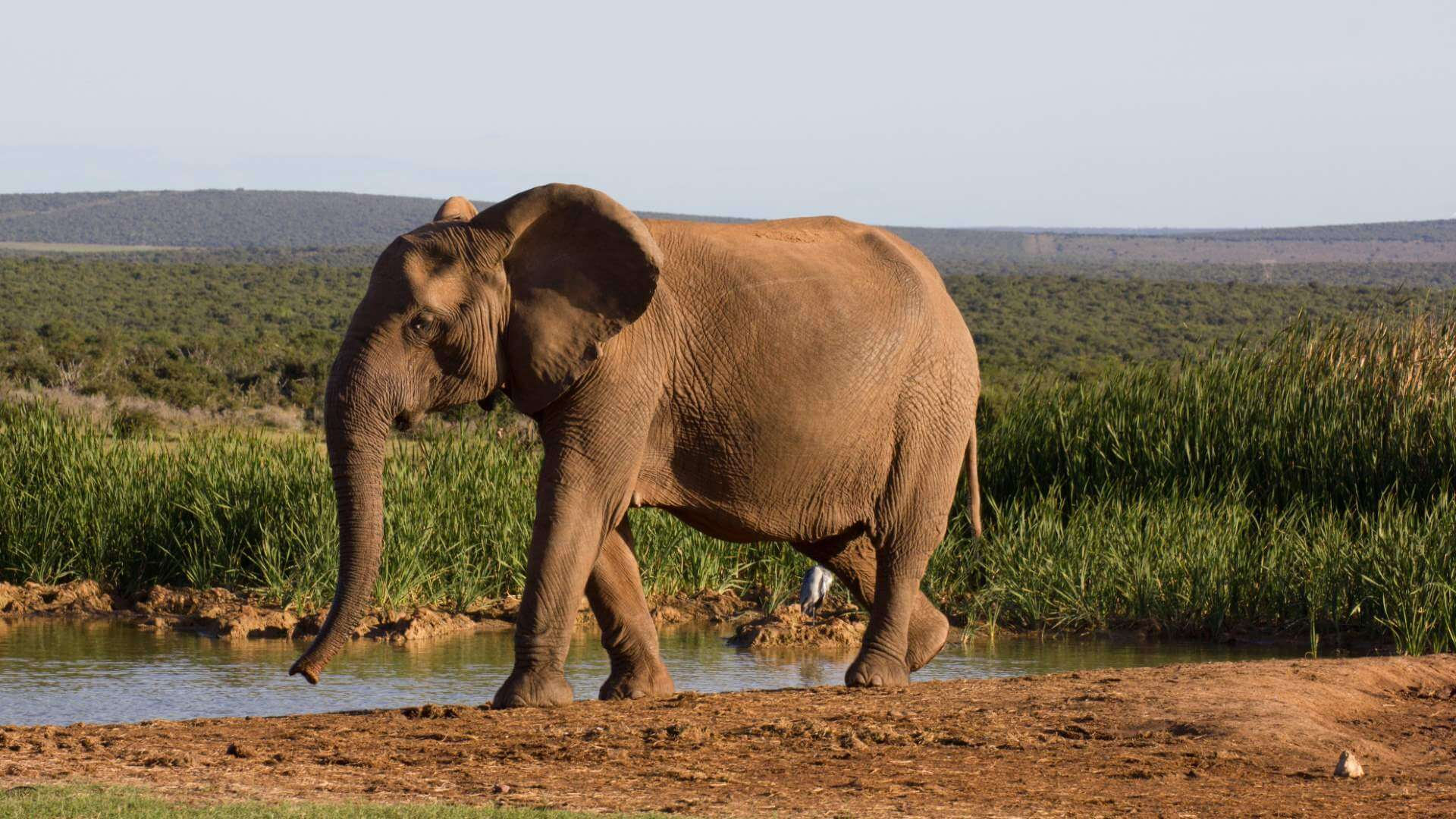 Elephant walking slowly, Addo Elephant Park, South Africa