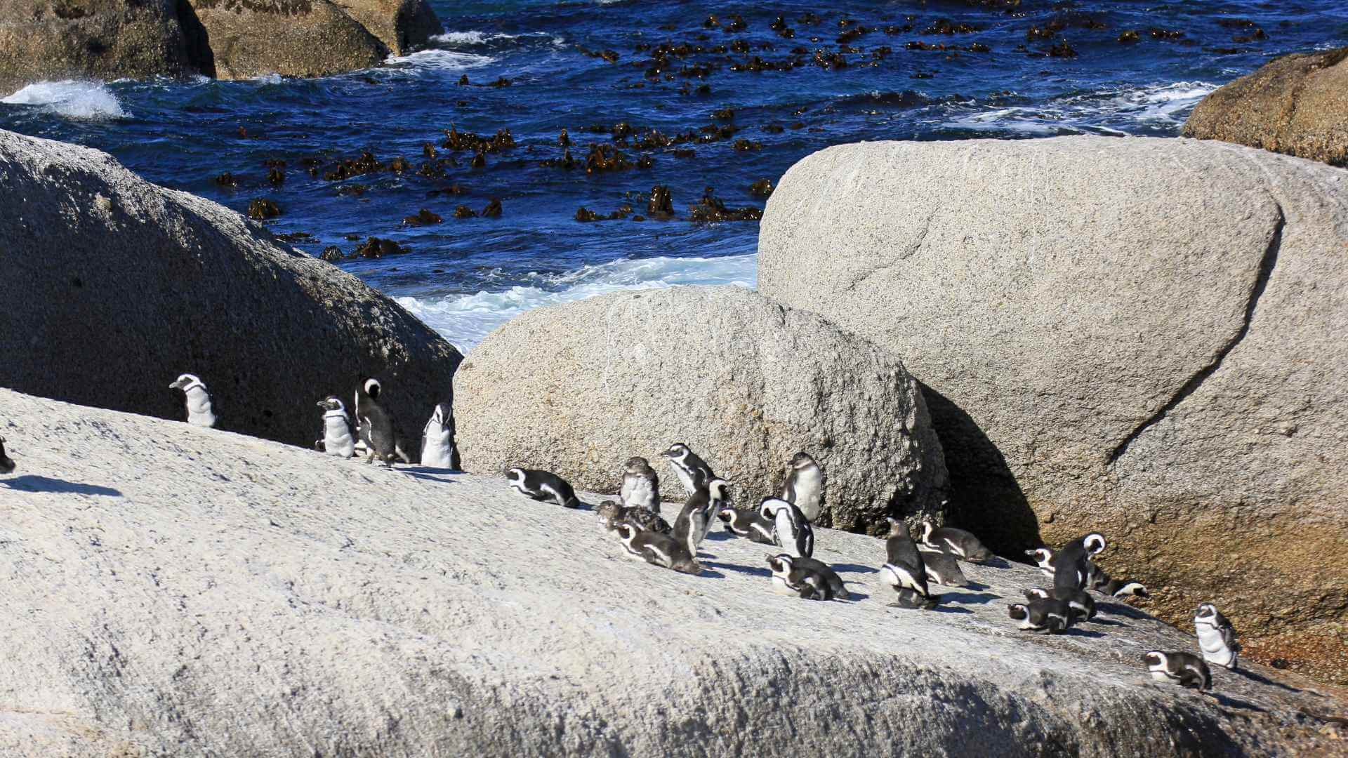 Sunbathing penguins, Boulders Bay, South Africa