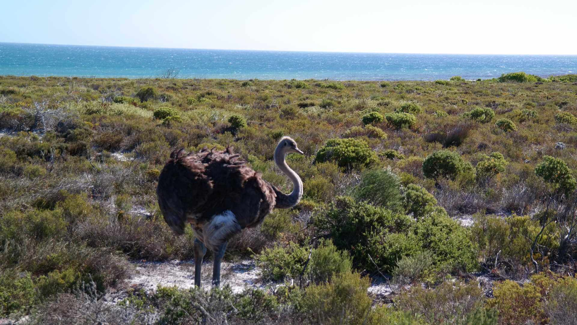Ostrich near the sea, Cape Peninsula, South Africa