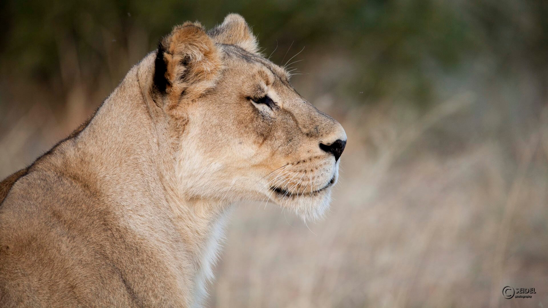 Lion looking into the far distance, Tswalu, Kalahari, South Africa