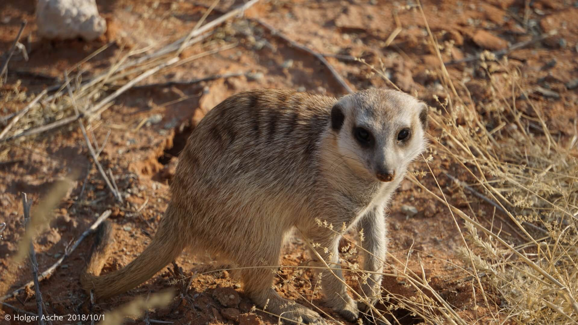 Merkat in the sand, Kgalagadi, South Africa