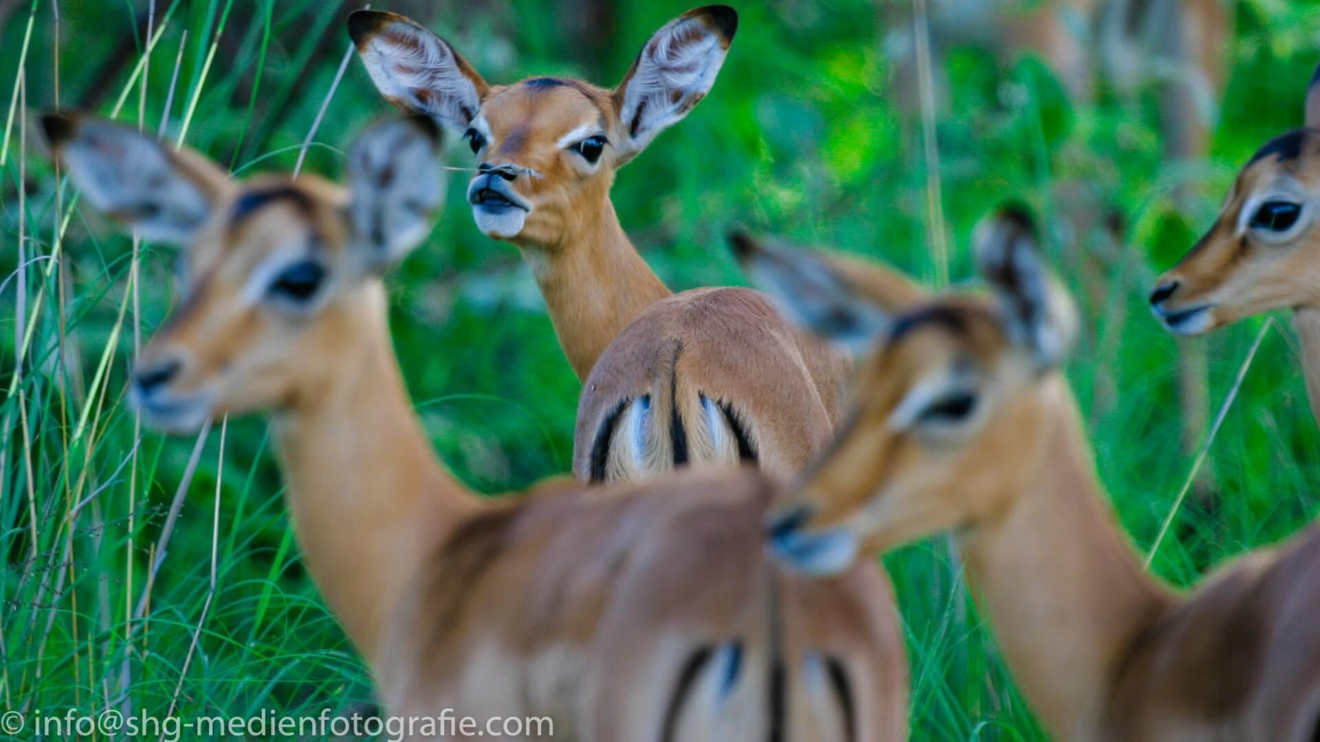 Impala-Gruppe