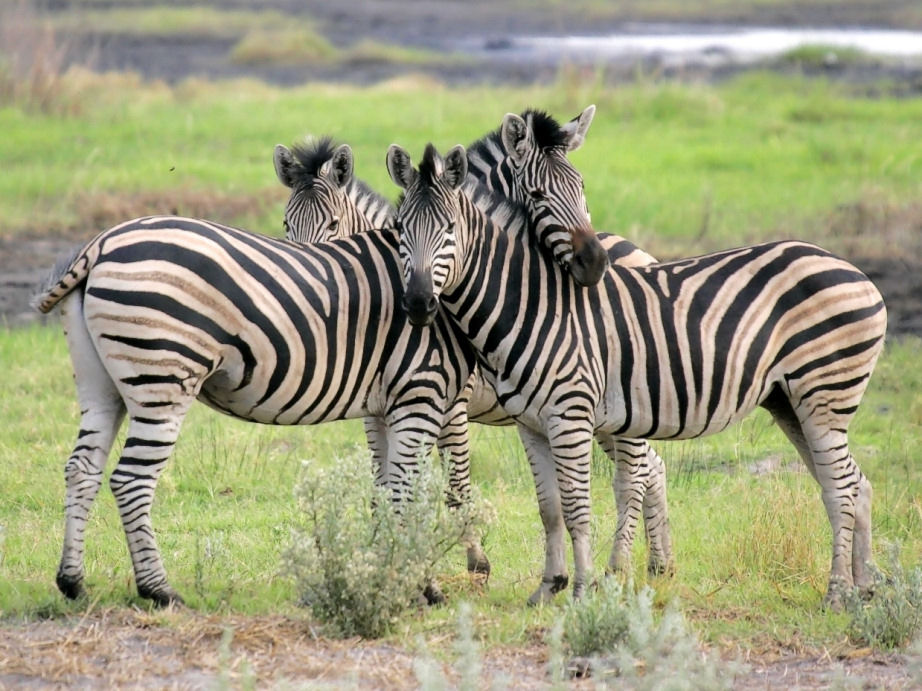 The Santé Group, Inc. Zebra Imagery by Mark Boswell