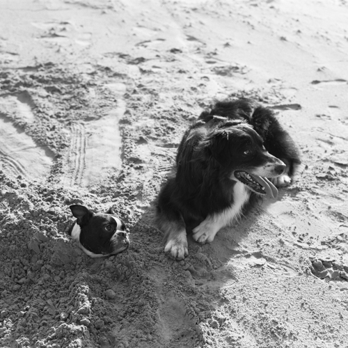 Brutus and Crash Playing in the Sand