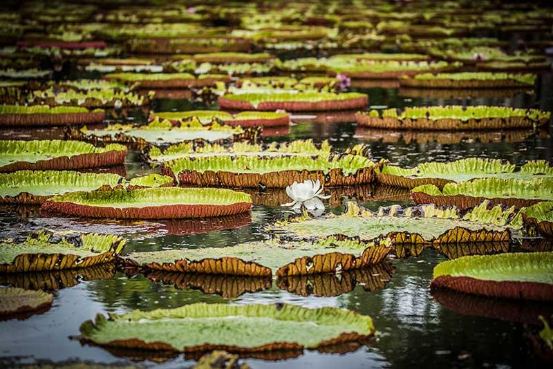 Le jardin botanique de Pamplemousse- Le duo de choc ! L'île Maurice et l'île de la Réunion - Suivre sa Joie - Saskia Parein
