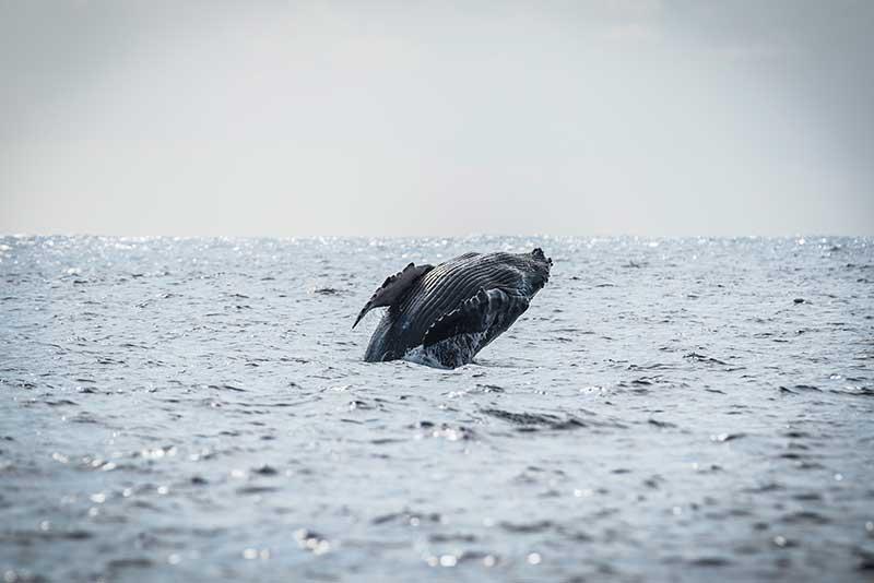 Les baleines - Le duo de choc ! L'île Maurice et l'île de la Réunion - Suivre sa Joie - Saskia Parein