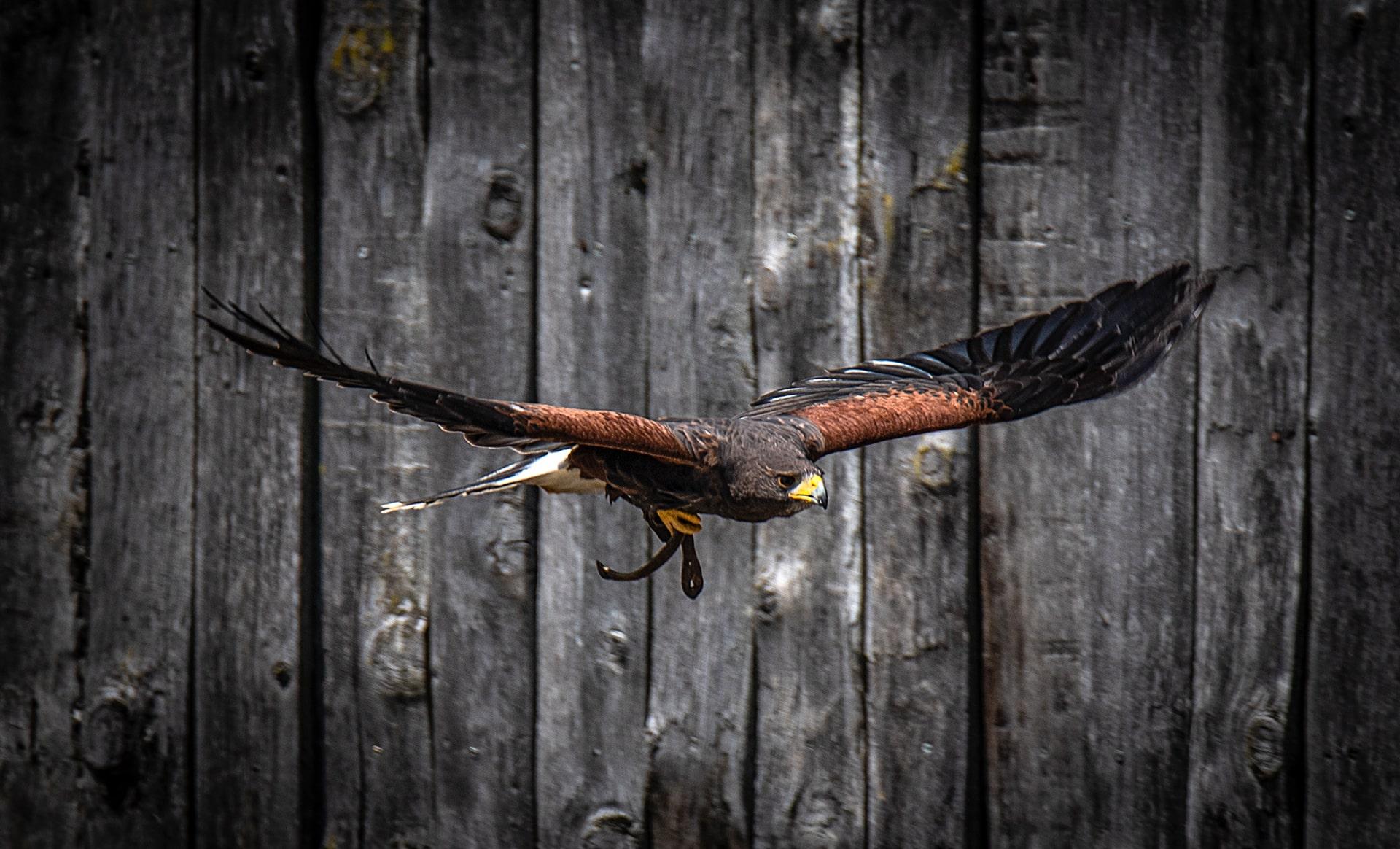 Blog Lifestyle - Les Spectacle des Aigles du Léman - Saskia Parein