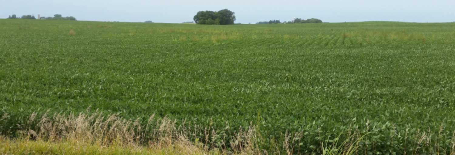 soybean field with weed pressure after spraying glyphosate