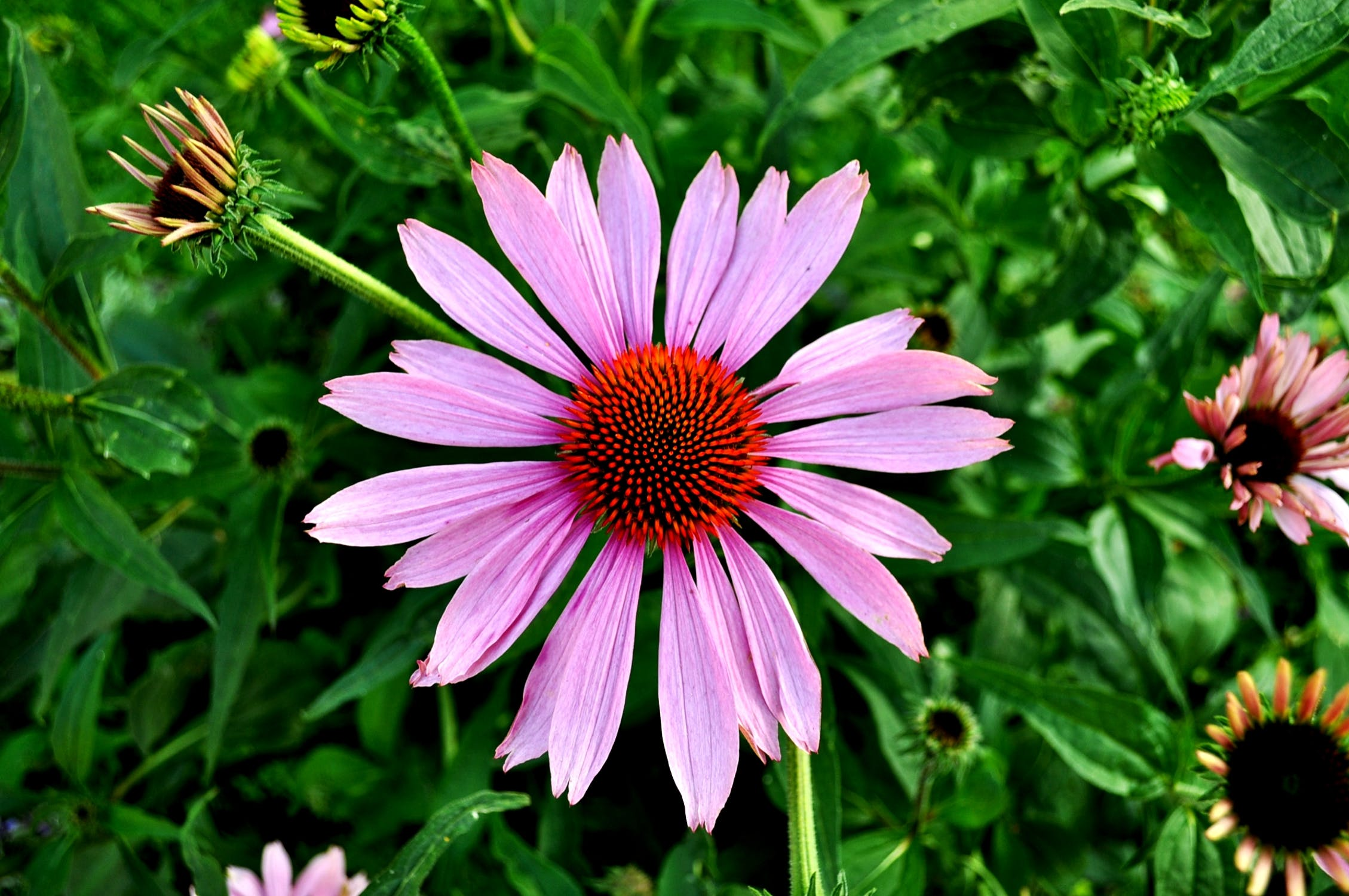 The Ultimate Guide To Echinacea Tea Benefits Side Effects And