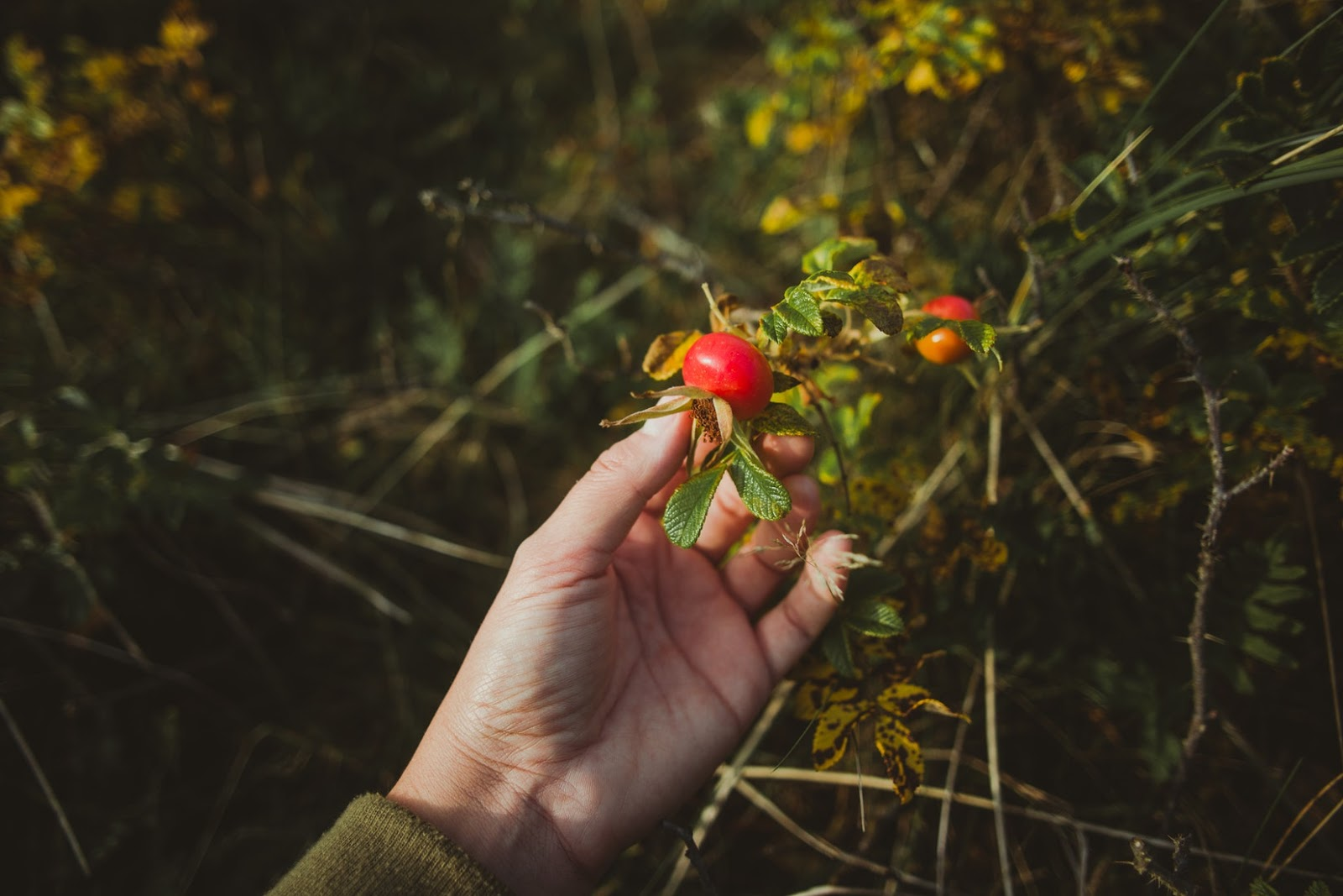 Rosehip Tea Health Benefits Side Effects And How To Brew Cup Leaf
