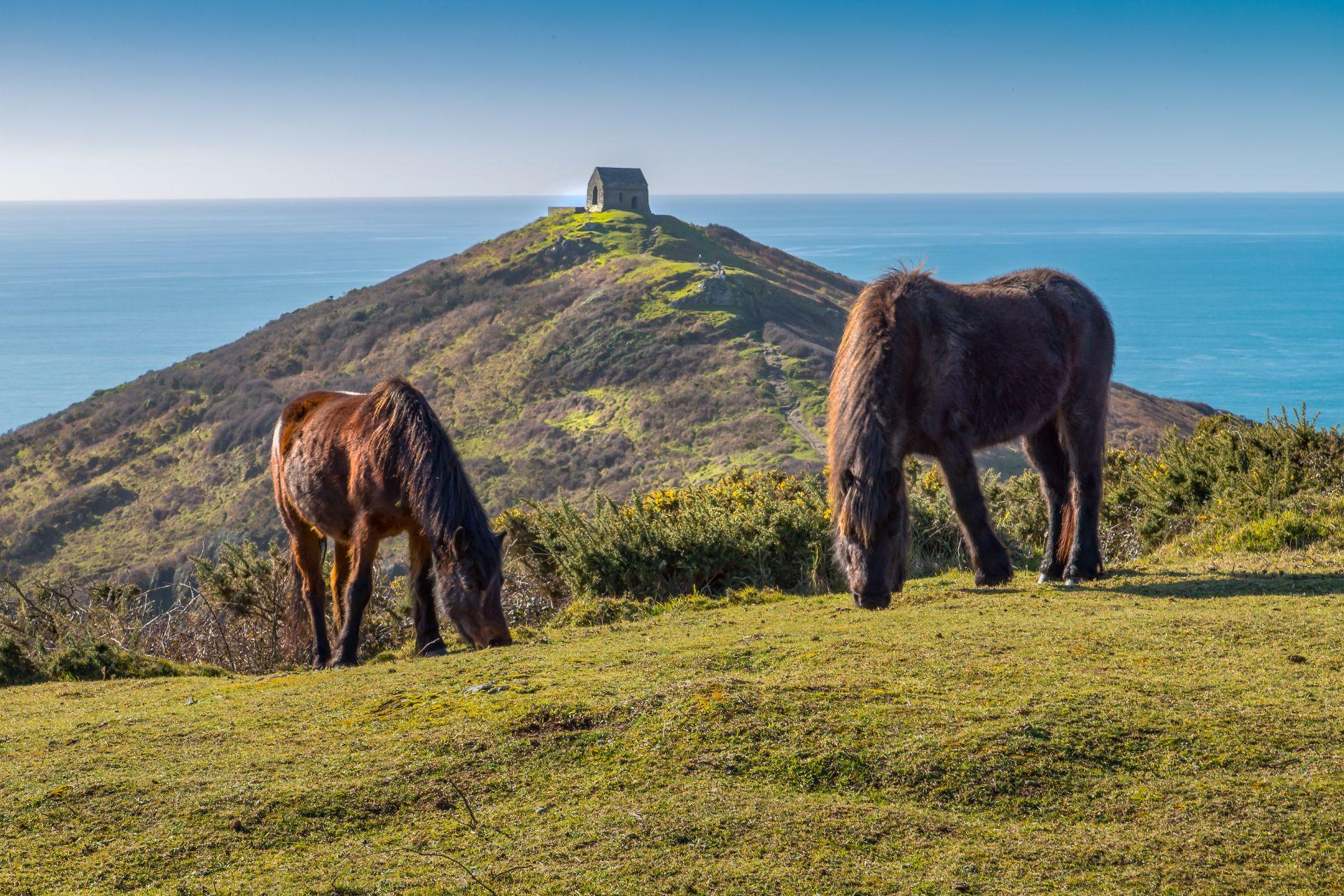Wild ponies on Rame Head