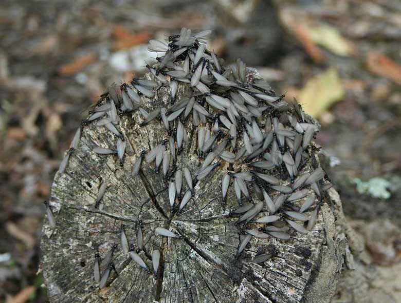 Queensland's termites damage wood structures