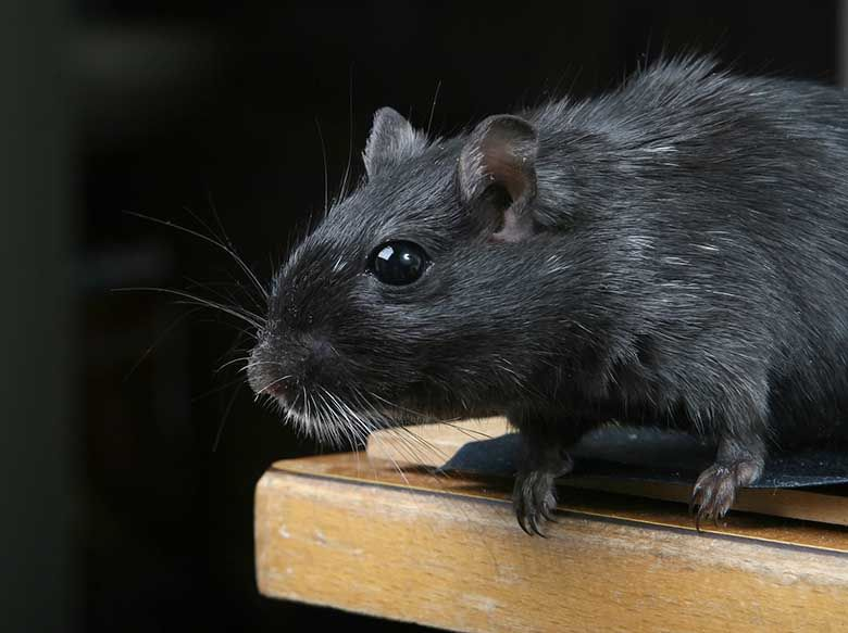 Get rid of mice and rats