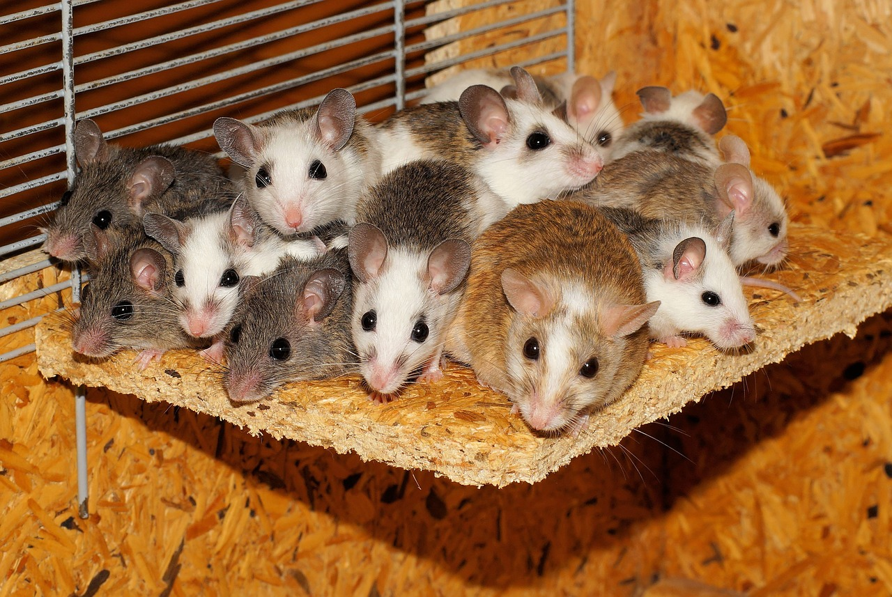 group of mice together