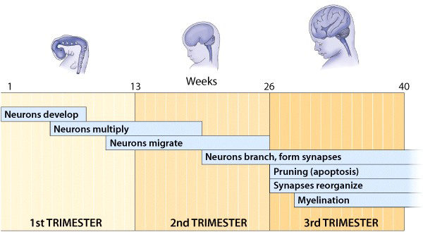 Chart depicting neuronic development of fetus