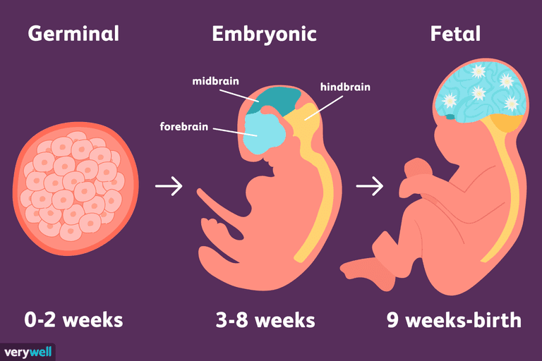 Illustration of neurodevelopment in the germinal, embryonic, and fetal stages