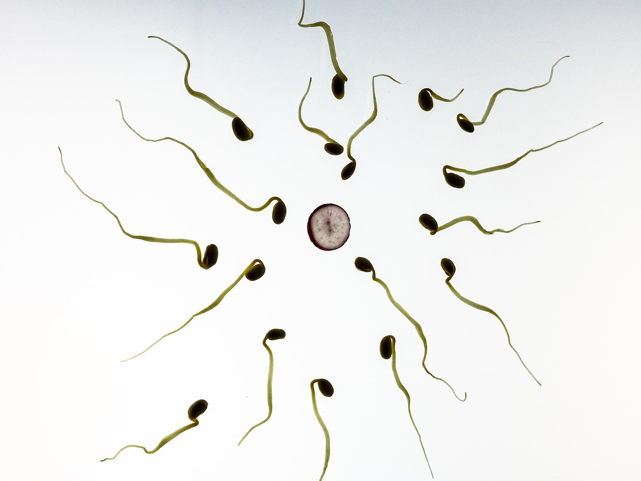 A close up of sperm surrounding the egg.