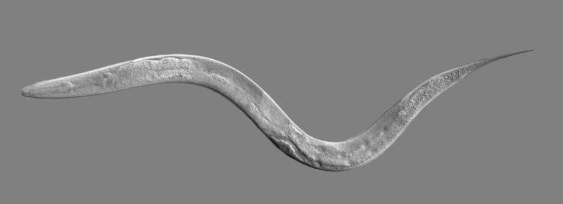 C. elegans, a type of roundworm