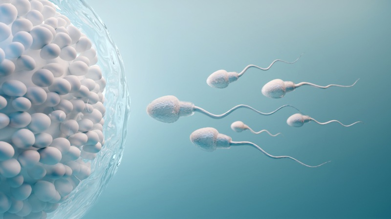 Visual depiction of 6 sperm heads swimming toward the egg sack