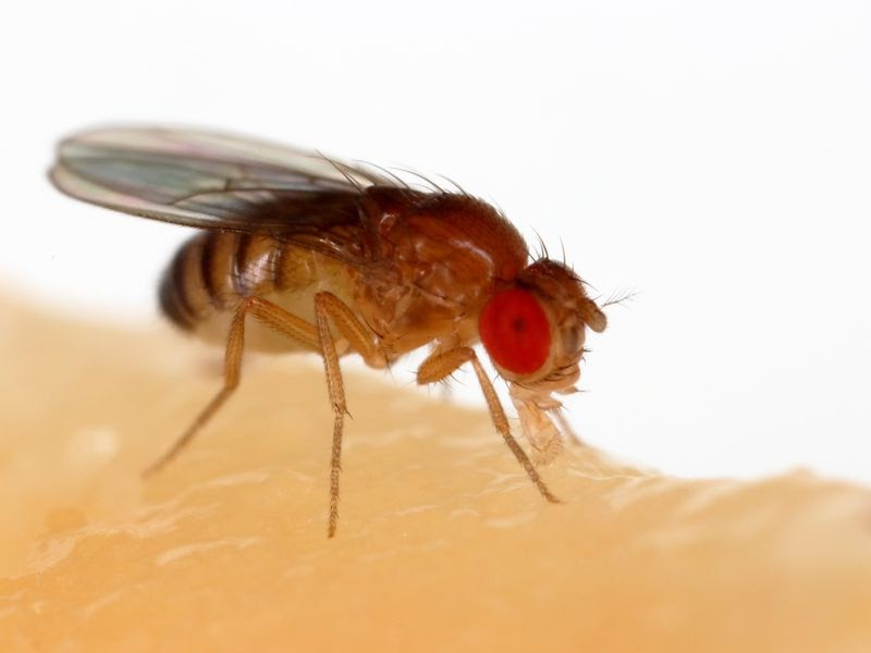 Fruit fly perched on a membrane.