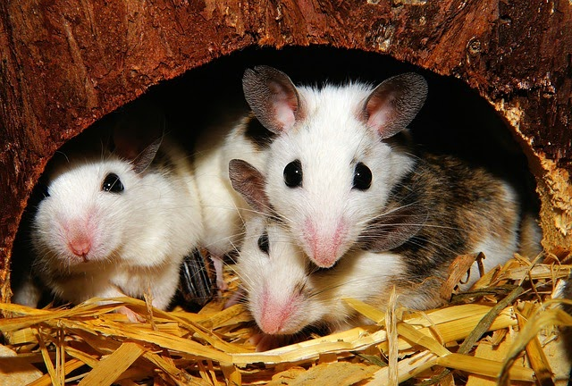 Three mice sit in a hole, fertile thanks to the PIN1 protein