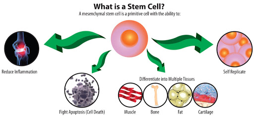Graphic flow chart of several functions of a stem cell in the human body