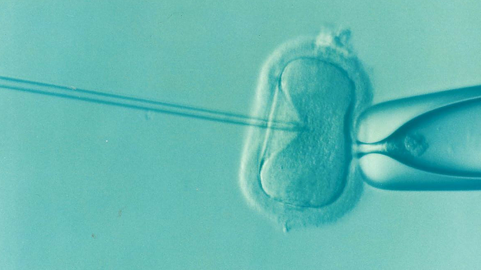 A zoomed-in image of the egg cell being injected with the sperm for the IVF process. The cell is ovular in shape, and the syringe is poking into it.