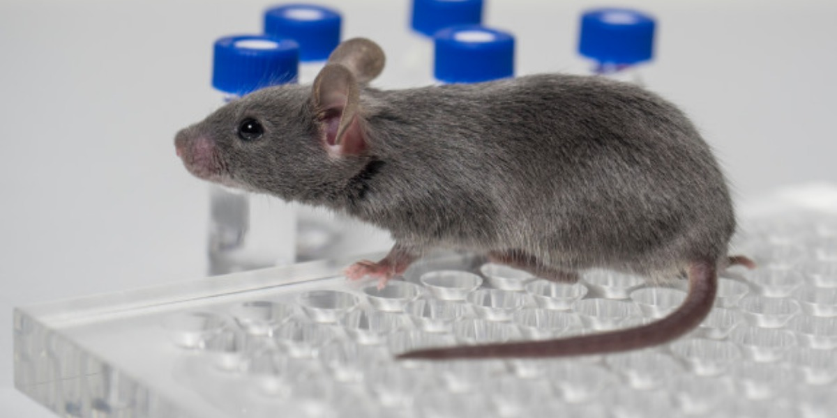 An image of a grey mouse walking across some clear, empty sample bottles in a square surface. There are blue-capped test tubes beside the surface.