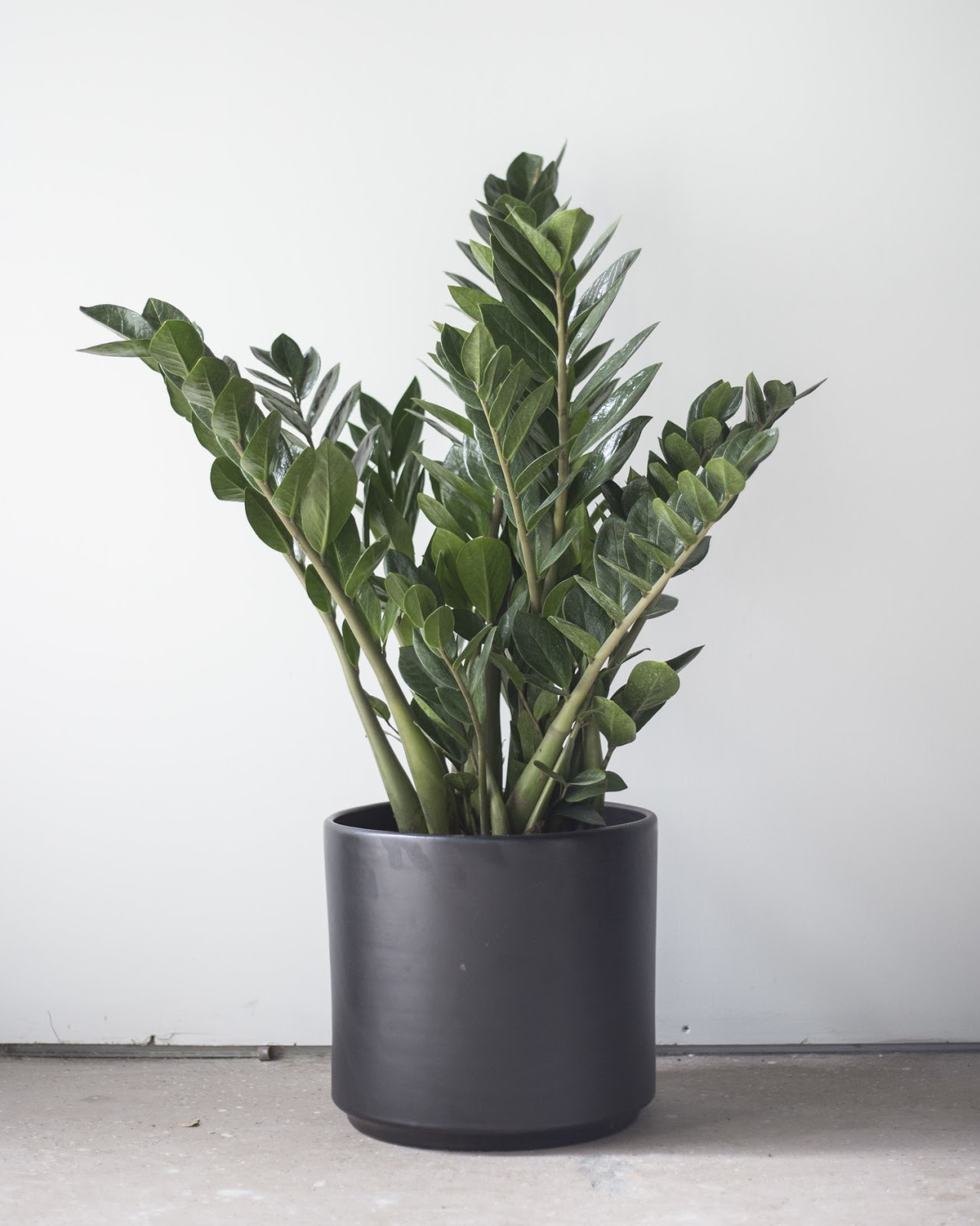 The ZZ Plant (Zamioculcas Zamiifolia) Does Best In Low Light Conditions,  Making It The Perfect Plant For An Office! These Plants Are Often Mistaken  For Fake ...