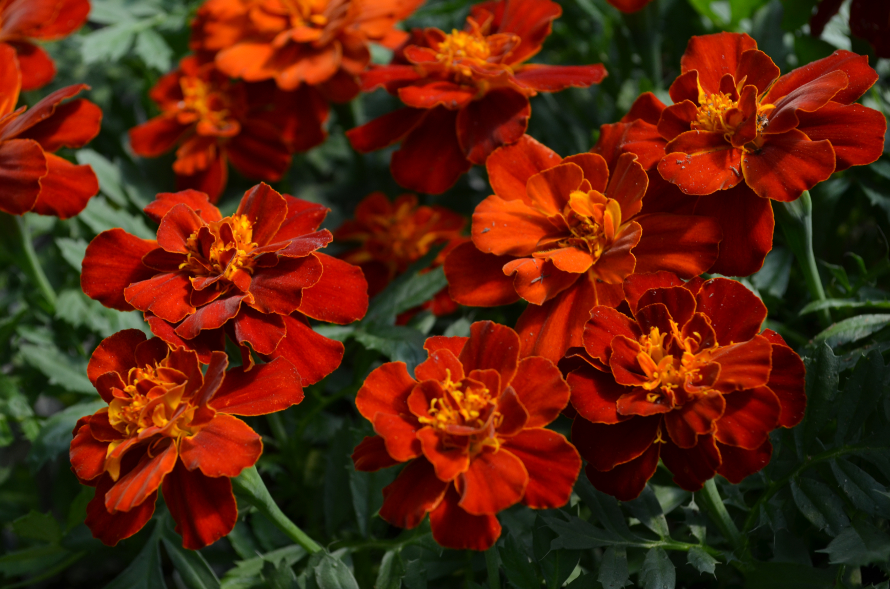 """Picture of Live Marigolds Durango Red aka Tagetes patula 'Durango Red' Plant Fit 4"""" Pot"""